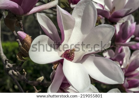 Magnolia Ã?Â?? soulangeana (saucer magnolia) is a hybrid plant in the genus Magnolia and family Magnoliaceae