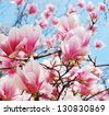 magnolia tree blossom - stock photo