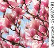 Magnolia tree blossom in springtime - stock photo