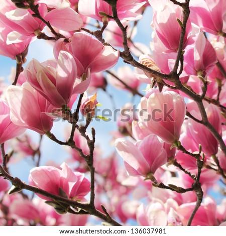 Magnolia tree blossom in springtime - stock photo