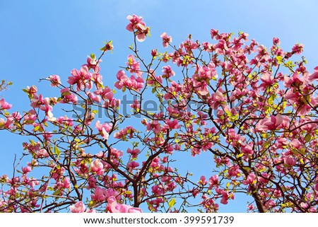 Magnolia tree blossom in the spring