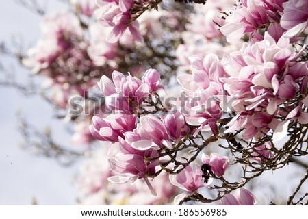 magnolia tree flowered foliage - stock photo