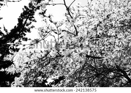 Magnolia tree in blossom in the park. Aged photo. Black and white. - stock photo
