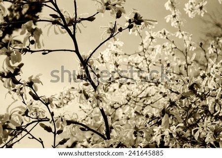 Magnolia tree in blossom in the park. Aged photo. Sepia. - stock photo