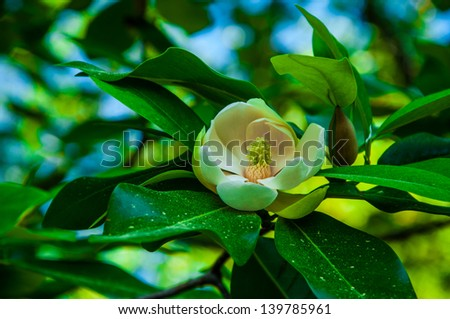 Magnolia virginiana, most commonly known as sweetbay magnolia, sweetbay - stock photo