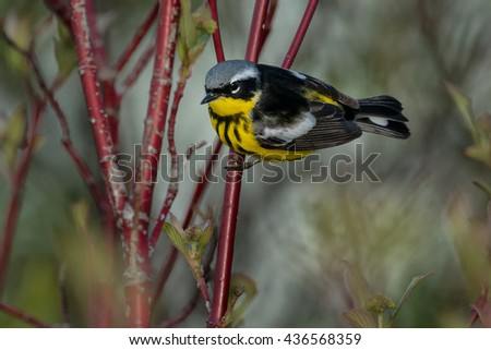 Magnolia Warbler perched on a branch.