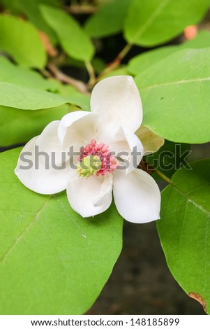 Magnolia wieseneri is a hybrid plant in the Magnolia genus and family, Magnoliaceae. A small tree or large shrub with white highly fragrant blooms