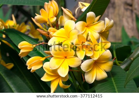 Magnolia yellow flowers against background of green leaves of the tree. - stock photo