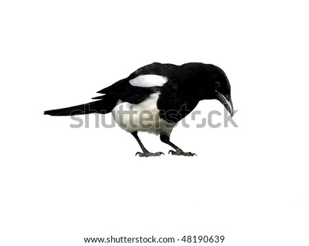 magpie, isolated on white - stock photo