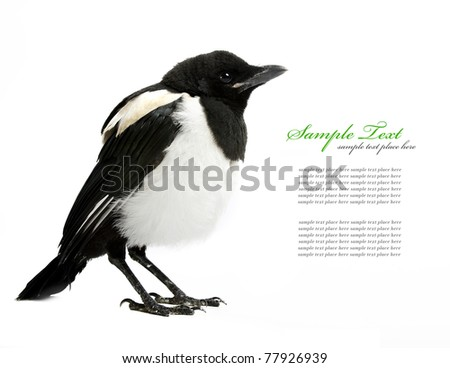 magpie, isolated on white