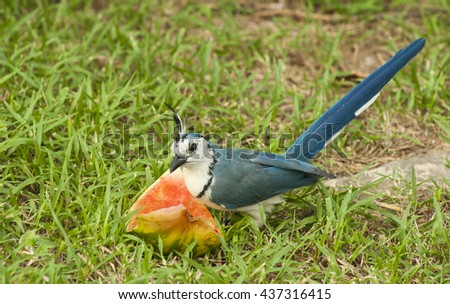 Magpie jay sits in the grass eating a slice of watermelon