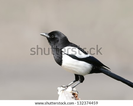 Magpie perched on wooden bar, with a piece of bread in legs - stock photo