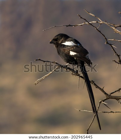 Magpie shrike perched on thorn tree with small spider in his beak - stock photo