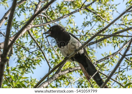 Magpie sitting on a tree branch