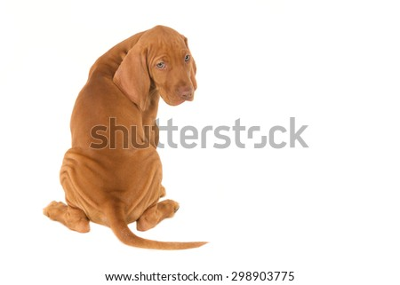 Magyar Vizsla puppy seen from the back, turning sideways.  With empty space for text and isolated on white - stock photo