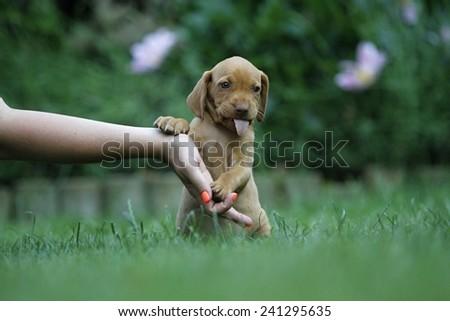 Magyar vizsla puppy , soft focus - stock photo