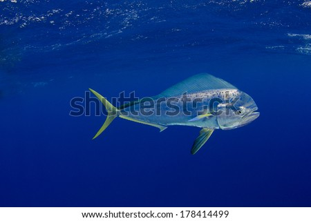 Mahi Mahi in the Bahamas  - stock photo