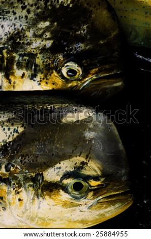mahi or Dolphinfish in fish market - stock photo
