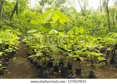 Mahogany seedlings (Swietenia macrophylla) in a tree nursery in the Ecuadorian Amazon - stock photo