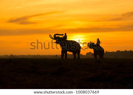 Mahout riding an elephant on the sunset,Surin,Thailand,Silhouette Elephant sunrise.