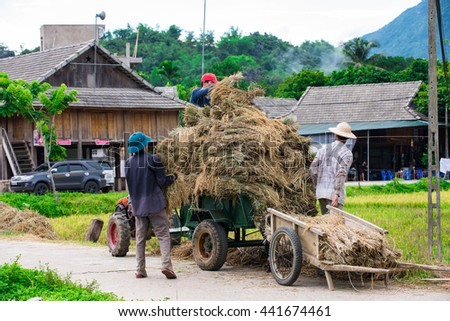 MaiChau, Hoa Binh Province, Vietnam - June 18, 2016: The farmers carrying bundles newly harvested paddy rice for small carts in the summer harvest.