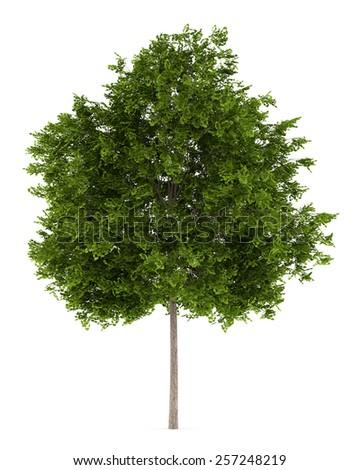 maidenhair tree isolated on white background - stock photo