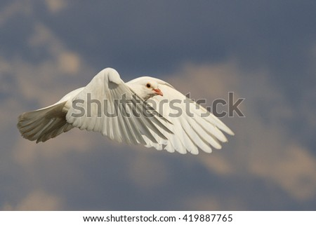 mail white dove flying bird, a symbol of hope, a symbol of peace, biblical history - stock photo