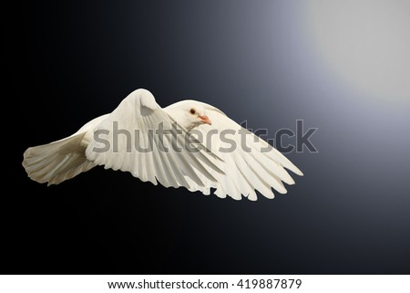 mail white dove flying bird, a symbol of hope, a symbol of peace, biblical historyisolated on black with hotspot - stock photo