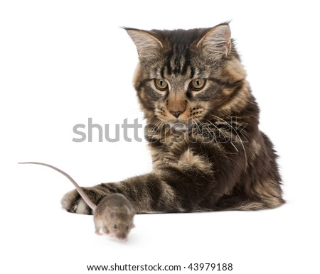 Main Coon pawing at wild mouse, 7 months old, in front of white background - stock photo
