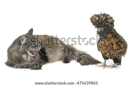 maine coon and chicken  in front of white background