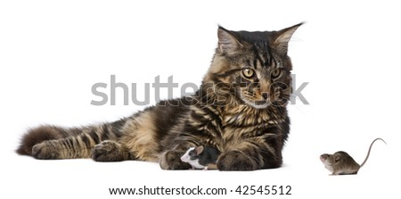 Maine Coon and mice, 7 months old, sitting in front of white background - stock photo