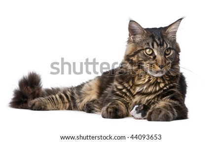 Maine Coon and mouse, 7 months old, sitting in front of white background - stock photo