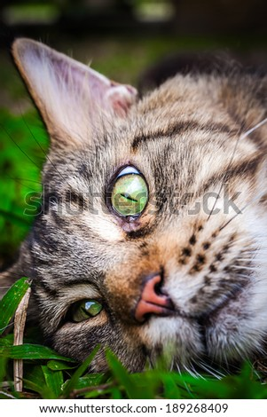 Maine Coon black tabby cat with green eye lying on grass. Macro  - stock photo