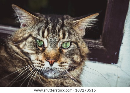 Maine Coon black tabby cat with green eye lying on the floor - stock photo