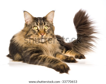 Maine Coon brown tabby lying on white background - stock photo