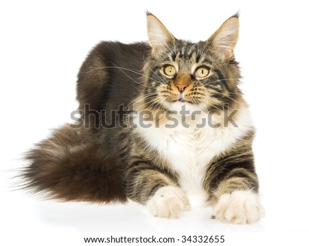 Maine Coon brown tabby, show champion, lying on white background