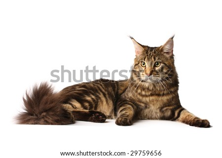 Maine-coon cat - stock photo