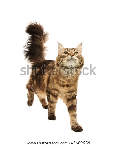maine coon cat against white background - stock photo