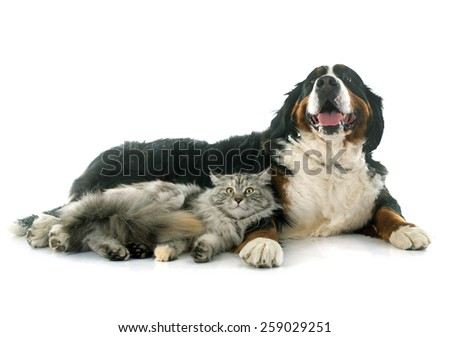 maine coon cat and bernese mountain dog in front of white background - stock photo