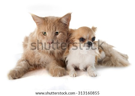 maine coon cat and chihuahua in front of white background