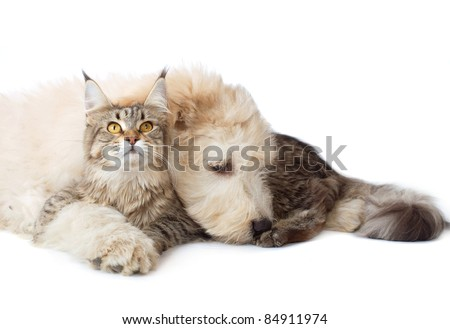 Maine Coon cat and pup of the South Russian Shepherd - stock photo