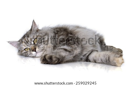 maine coon cat in front of white background