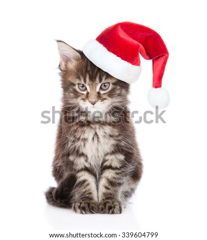 Maine coon cat in red santa hat looking at camera. isolated on white background - stock photo