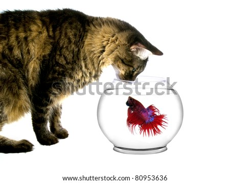 Maine coon cat intimidating a fish in a bowl - stock photo