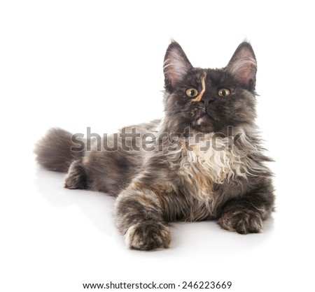 Maine Coon cat isolated on white background - stock photo