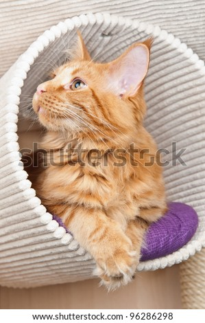 Maine Coon cat lying in a scratching post - stock photo