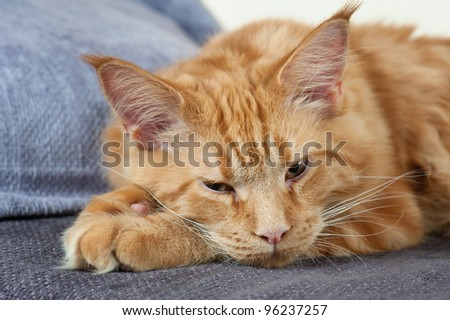 Maine Coon cat lying on a couch - stock photo