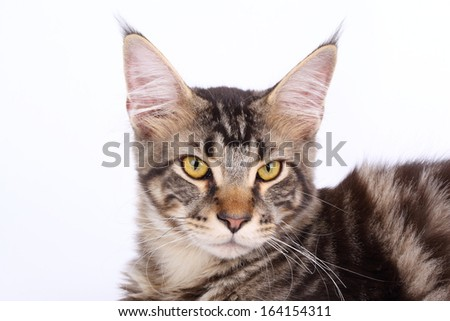 Maine Coon cat, 7 months old, laying in front of white background  - stock photo