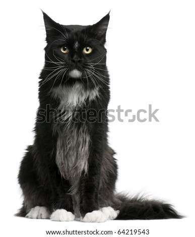 Maine Coon cat, 15 months old, sitting in front of white background - stock photo