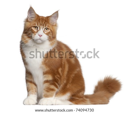Maine Coon cat, 6 months old, sitting in front of white background - stock photo
